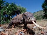 Komodo Dragon (Varanus Komodoensis), Komodo National Park, Komodo Island Photographic Print by Reinhard Dirscherl