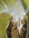 Milkweed, Asclepias Syriaca, Seeds Being Dispersed by the Wind, North America Photographic Print by David Cavagnaro