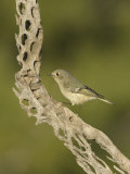 Ruby-Crowned Kinglet on a Cholla Cactus Skeleton (Regulus Calendula), Arizona, USA Photographie par Charles W. Melton