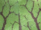 Hairs on the Leaf of a Purple Pitcher Plant, Sarracenia Purpurea, North America Photographic Print by Gary Meszaros
