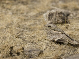 Fiery-Necked Nightjar, Caprimulgus Pectoralis, Africa Photographic Print by Joe McDonald