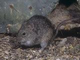 Hispid Cotton Rat, Sigmodon Hispidus, Texas, USA Photographic Print by Charles Melton