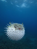 Spotted Porcupine Fish (Diodon Hystrix), Maui, Hawaii, USA Photographic Print by David Fleetham