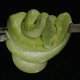 Green Tree Python, , Chondropython Viridis, Heat Sensory Pits, Australia, New Guinea Photographic Print by Jim Merli