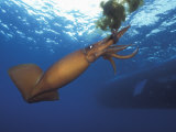 Humboldt Squid Nine-Mile Bank Off San Diego, California, Usa, Pacific Ocean Photographic Print by Richard Herrmann