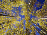 View Toward Blue Sky Through Quaking Aspen Trees, Populus Tremuloides, Western USA Photographic Print by Adam Jones