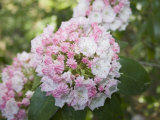 Mountain Laurel Flowers (Kalmia Latifolia), Eastern North America Photographic Print