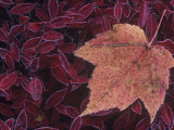 Fall Maple Tree Leaf, Acer, on Frosted Blueberry Leaves, North America Fotografiskt tryck av John & Barbara Gerlach