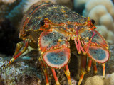 Regal Slipper Lobster Head(Arctides Regalis), Hawaii, USA Photographic Print by David Fleetham