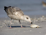 Herring Gull Juvenile (Larus Argentatus) Scavenging a Fish on Shore, Florida, USA Photographic Print by Fritz Polking