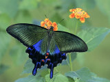 Japanese Swallowtail Butterfly (Papilio Bianor) on Flowers Photographic Print by Leroy Simon