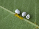 Silkmoth Eggs and a Newly Hatched Caterpillar (Rothschildia Orizaba). Ecuador Photographic Print by Leroy Simon