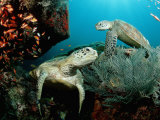 Green Sea Turtles on a Cleaner Station on a Coral Reef (Chelonia Mydas), Pacific Ocean, Borneo Photographic Print by Reinhard Dirscherl