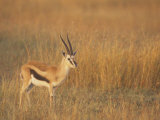 Male Thomson&#39;s Gazelle on the Savanna, Gazella Thomsonii, Masai Mara, Kenya, Africa Photographic Print by John &amp; Barbara Gerlach