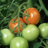 Ripe and Ripening Tomatoes (Lycopersicon Esculentum) Photographic Print by Nigel Cattlin