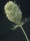 Queen Annes Lace or Wild Carrot, Daucus Carota, North America Photographic Print by Joe &amp; Mary Ann McDonald