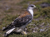 Red-Backed Buzzard, Buteo Polyosoma, Falkland Islands Lámina fotográfica por Joe McDonald