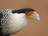 Crested Caracara 9Carabara Plancus, Head with Red Dirt, Texas, USA Photographic Print by Arthur Morris