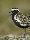 Pacific Golden-Plover Calling, Pluvialis Fulva, North America Photographic Print by Arthur Morris