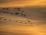 Flock of Sandhill Cranes at Sunset Photographic Print by Steve Maslowski