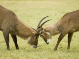 Defassa Waterbucks Fighting, Kobus Ellipsiprymnus Defassa, East Africa Photographic Print by Joe McDonald