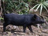 Wild Hog, Sus Scrofa, Southern USA Fotografie-Druck von Charlie Heidecker