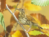 Wood Thrush (Hylocichla Mustelina) in a Fall Beech Tree. Eastern USA Photographic Print by Steve Maslowski