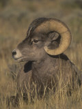 Bighorn Sheep Ram Resting, Ovis Canadensis, Yellowstone National Park, Montana, USA Photographic Print by Charles Melton