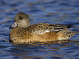 Female American Wigeon on Water, Anas Americana, USA Photographic Print by John Cornell