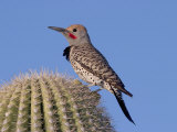 Gilded Flicker (Colaptes Chrysoides) Adult Male, Arizona, USA Photographic Print by Rick & Nora Bowers