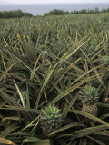 Pineapple Field of Commercially Grown Pineapples, Maui, Hawaii Photographic Print by Adam Jones