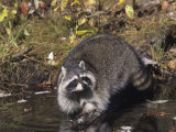 Raccoon Washing its Hands and Food in a Forest Pond or Stream (Procyon Lotor), North America Photographie par Tom Ulrich