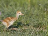 Sandhill Crane Chick, Grus Canadensis, Florida, USA Photographic Print by Arthur Morris