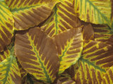 American Beech Tree Leaves in the Fall, Fagus Grandifolia, North America Photographic Print by David Sieren