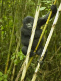 Mountain Gorilla, Gorilla Gorilla Beringei, in Volcanoes National Park, Rwanda, Africa Photographic Print by Joe McDonald