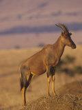 Topi Standing on a Termite Mound, Damaliscus Lunatus, Masai Mara, Kenya, Africa Photographic Print by Gerald & Buff Corsi