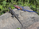 Common Agama Lizards, Agama Agama, Serengeti, Tanzania, East Africa Photographic Print by Fritz Polking