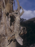Giant Leaf-Tailed Gecko, Uroplatus Fimbriatus, Madagascar Photographic Print by Gerald & Buff Corsi