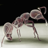 Side View of an Ant Lámina fotográfica por David Phillips