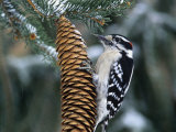 Male Downy Woodpecker (Picoides Pubescens) on a Spruce Cone, Eastern North America Photographic Print by Steve Maslowski