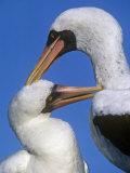Mutual Grooming by Masked Boobies, Sula Dactylatra, Hood Island, Galapagos Islands Photographie par Gerald & Buff Corsi