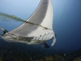 This Manta Ray (Manta Birostris) Is Entangled in and Towing a Fisherman&#39;s Net, Yap, Micronesia Photographic Print by David Fleetham