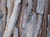 Incense-Cedar Tree Bark (Calocedrus Decurrens), California, USA Photographic Print by Mack Henley