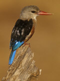 Gray-Headed Kingfisher, Halcyon Leucocephalus, Samburu Game Refuge, Kenya, Africa Photographic Print by Joe McDonald
