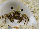 Eye Stalks and Antennae of a Hermit Crab (Dardanus Lagopodes) in a White Shell, Yap, Micronesia Photographic Print by David Fleetham
