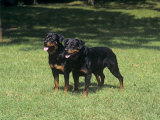 Rottweiler Variety of Domestic Dog Photographic Print by Cheryl Ertelt