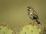 A Lark Bunting, Calamospiza Melanocorys, Arizona, USA Photographie par John & Barbara Gerlach