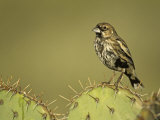A Lark Bunting, Calamospiza Melanocorys, Arizona, USA Photographic Print by John & Barbara Gerlach
