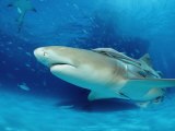 Lemon Shark, Negaprion Brevirostris, Bahamas, Grand Bahama Island, Atlantic Ocean Photographic Print by Reinhard Dirscherl