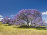 Lavender-Colored Blossoms on Jacaranda Trees (Jacaranda Mimosifolia) in a Field, Maui, Hawaii, USA Photographic Print by David Fleetham